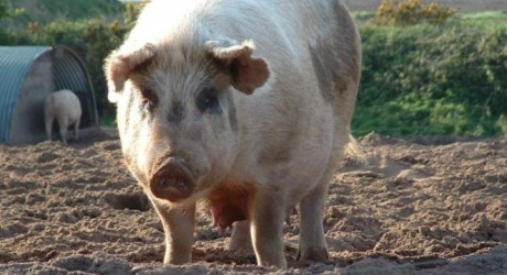 Stresul la porci